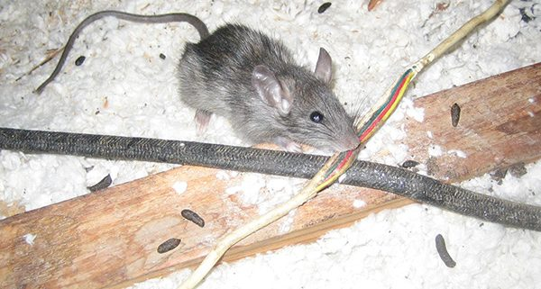 mouse-in-attic-with-feces